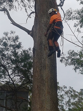 Best northern beaches tree looping service
