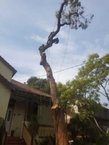 tree looping Frenchs Forest